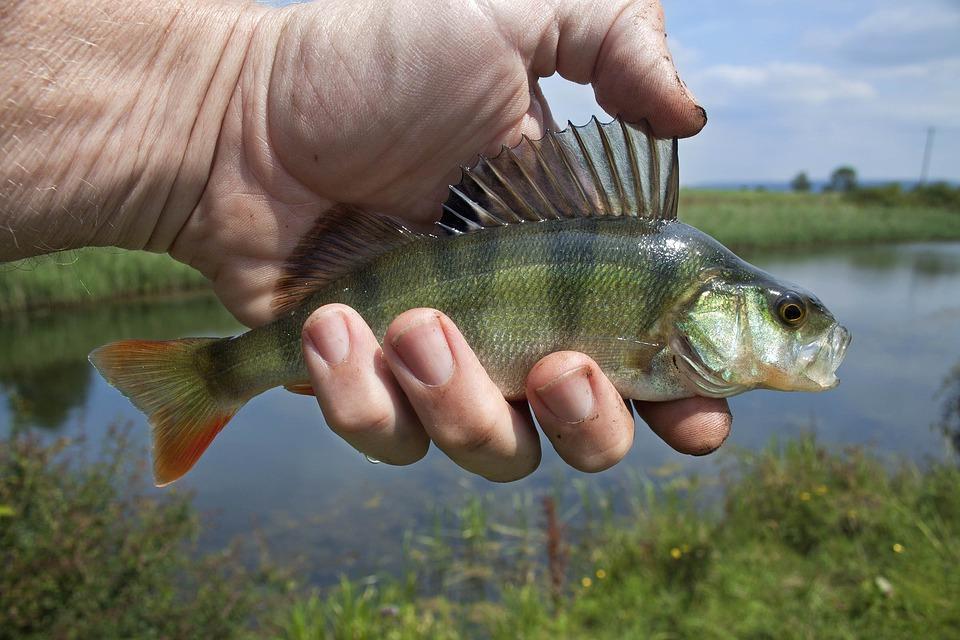 river-fish-1164953_960_720
