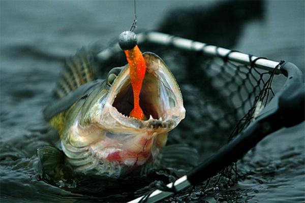 Как правильно ловить судака осенью! Техника ловли.