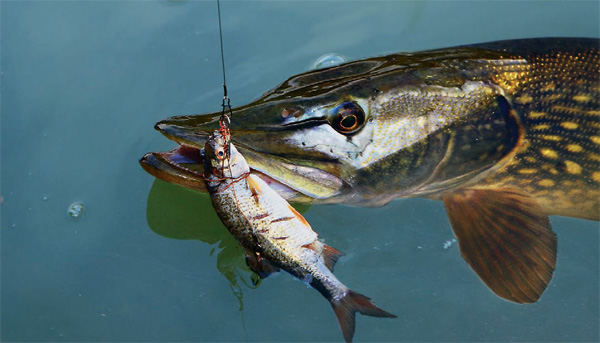 Рыбалка с натуральной приманкой. Как ловить щуку?